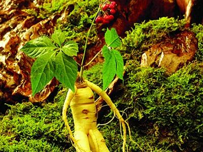 Cây giống nhân sâm, củ nhân sâm, hoa nhân sâm, hạt sâm Hàn Quốc
